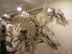 Killer Whale skeleton