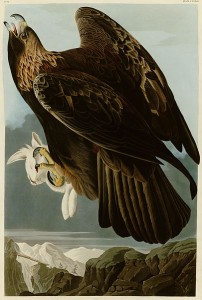 A close-up of a Golden Eagle from Audubon's Birds of America