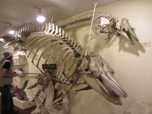 Killer Whale skeleton