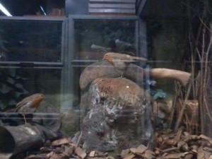 Diorama - Robins in an artificial 'natural' environment